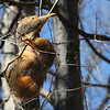 A squirrel hanging on for dear life after eating a bud on the tree at Mounds Park.<br /> <br /> Photographer's Name: Jerry Byard<br /> Photographer's City and State: Anderson, Ind.