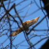A sunny backlit red-tailed hawk soars above the woods at Mounds Park.<br /> <br /> Photographer's Name: Jerry Byard<br /> Photographer's City and State: Anderson, Ind.