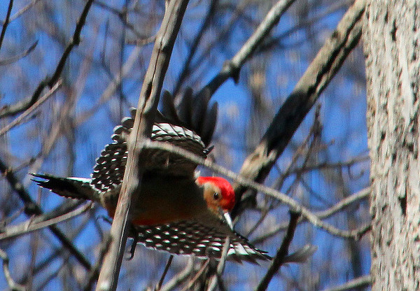 A red-bellied woodpecker heading for a feeder at Mounds Park.<br /> <br /> Photographer's Name: Jerry Byard<br /> Photographer's City and State: Anderson, Ind.