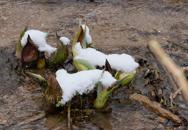 "The Skunk Cabbage at Mounds Park ""caught"" a bunch of snow this morning.<br /> <br /> Photographer's Name: Jerry Byard<br /> Photographer's City and State: Anderson, Ind."