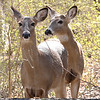 Two whitetail deer at Mounds Park on March 15.<br /> <br /> Photographer's Name: Pete Domery<br /> Photographer's City and State: Markleville, Ind.