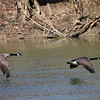 Geese at Mounds Park flying over the river.<br /> <br /> Photographer's Name: Jerry Byard<br /> Photographer's City and State: Anderson, Ind.