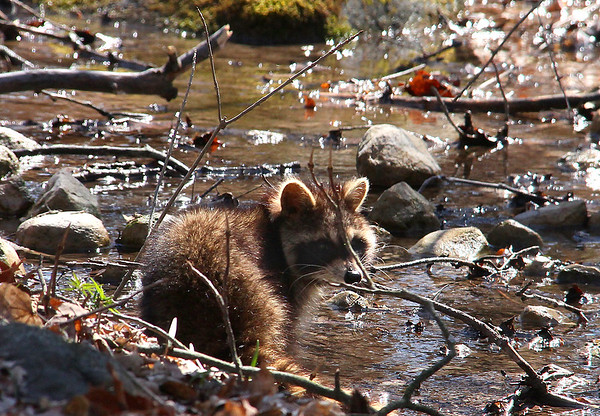 A raccoon at Mounds Park was drinking from the stream.<br /> <br /> Photographer's Name: Jerry Byard<br /> Photographer's City and State: Anderson, Ind.