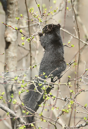 A black squirrel eating fresh green tree buds at the Mounds Park Nature Center.<br /> <br /> Photographer's Name: Pete Domery<br /> Photographer's City and State: Markleville, Ind.