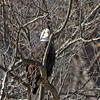 A bald eagle in a tree over the White River in Anderson.<br /> <br /> Photographer's Name: Pete Domery<br /> Photographer's City and State: Markleville, Ind.