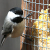A chickadee at Mounds Park on a suet feeder.<br /> <br /> Photographer's Name: Jerry Byard<br /> Photographer's City and State: Anderson, Ind.