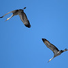 This is the time of the year that Sand Hill Cranes are on the move.<br /> <br /> Photographer's Name: Jerry Byard<br /> Photographer's City and State: Anderson, Ind.