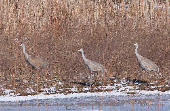 Three sand hill cranes before taking flight.<br /> <br /> Photographer's Name: Jerry Byard<br /> Photographer's City and State: Anderson, Ind.