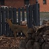 Deer and friend kitty<br /> <br /> Photographer's Name: Becky Collins<br /> Photographer's City and State: Anderson, Ind.