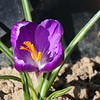 A lone crocus finally bloomed at my home.<br /> <br /> Photographer's Name: Jerry Byard<br /> Photographer's City and State: Anderson, Ind.