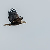 An adult bald eagle over Salamonie Lake on Sunday.<br /> <br /> Photographer's Name: Ruby Northcutt<br /> Photographer's City and State: Anderson, Ind.