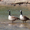A seemingly popular type of bird being posted quite often, GEESE!<br /> <br /> Photographer's Name: Jerry Byard<br /> Photographer's City and State: Anderson, Ind.