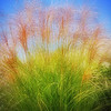 Photo of grasses in a collection taken during a recent trip to warmer climates by Barbara Grimball.<br /> <br /> Photographer's Name: Barbara Grimball<br /> Photographer's City and State: Anderson, Ind.