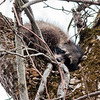 This small raccoon was getting some rest in at Falls Park atop a tree.<br /> <br /> Photographer's Name: Ruby Northcutt<br /> Photographer's City and State: Anderson, Ind.