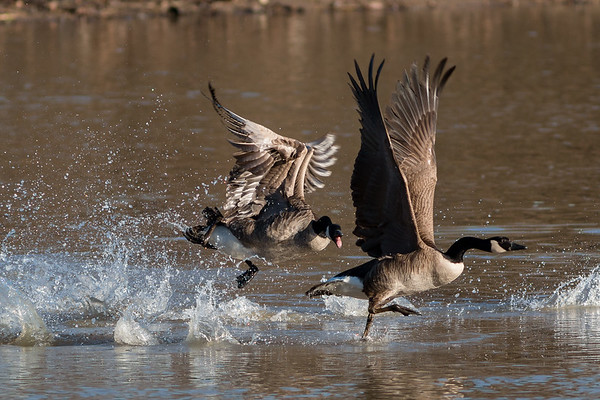 Canada Geese weren't getting along too well at Killbuck Wetlands Monday morning.<br /> <br /> Photographer's Name: Ruby Northcutt<br /> Photographer's City and State: Anderson, Ind.