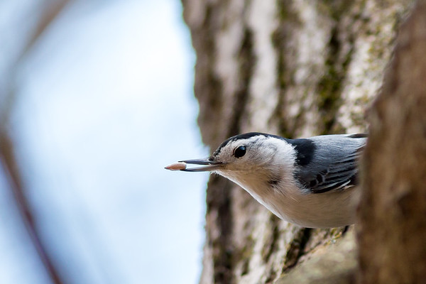 A white-breasted nuthatch showing off his lunch at Salamonie.<br /> <br /> Photographer's Name: Ruby Northcutt<br /> Photographer's City and State: Anderson, Ind.