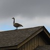 Goose, checking out the view from a rooftop.<br /> <br /> Photographer's Name: Harry Van Noy<br /> Photographer's City and State: Lafayette Township, Ind.