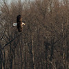 An Adult Eagle soaring over Salamonie Lake on Sunday.<br /> <br /> Photographer's Name: Ruby Northcutt<br /> Photographer's City and State: Anderson, Ind.