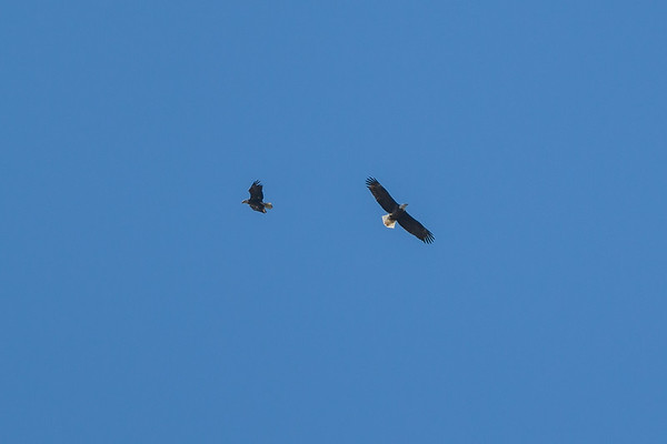 A couple of Bald Eagles flying over Summit Lake.<br /> <br /> Photographer's Name: Ruby Northcutt<br /> Photographer's City and State: Anderson, Ind.