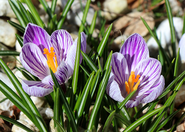 Twin crocus flowers bloomed even in chilly weather.<br /> <br /> Photographer's Name: Jerry Byard<br /> Photographer's City and State: Anderson, Ind.