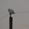 A white snow owl seen on SR 37 north of the old Wheeler's Restaurant.<br /> <br /> Photographer's Name: William Shipman<br /> Photographer's City and State: Elwood, Ind.
