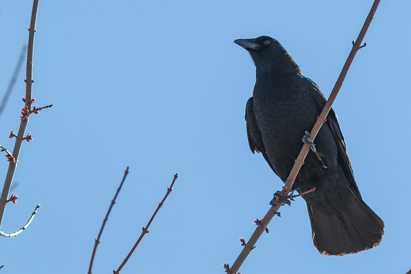 A crow enjoying the sunshine at Summit Lake.<br /> <br /> Photographer's Name: Ruby Northcutt<br /> Photographer's City and State: Anderson, Ind.