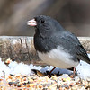 A junco on a feeder at Mounds Park.<br /> <br /> Photographer's Name: Jerry Byard<br /> Photographer's City and State: Anderson, Ind.