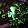 Green shamrocks all around for March.<br /> <br /> Photographer's Name: J.R. Rosencrans<br /> Photographer's City and State: Alexandria, Ind.