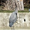 Warm sunshine on my back...a crane at Geist Reservoir.<br /> <br /> Photographer's Name: J.R. Rosencrans<br /> Photographer's City and State: Alexandria, Ind.