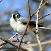 A tufted titmouse waiting in the tree at Mounds Park.<br /> <br /> Photographer's Name: Jerry Byard<br /> Photographer's City and State: Anderson, Ind.
