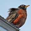 A windblown male robin checking out the neighborhood.<br /> <br /> Photographer's Name: Harry Van Noy<br /> Photographer's City and State: Lafayette Township, Ind.