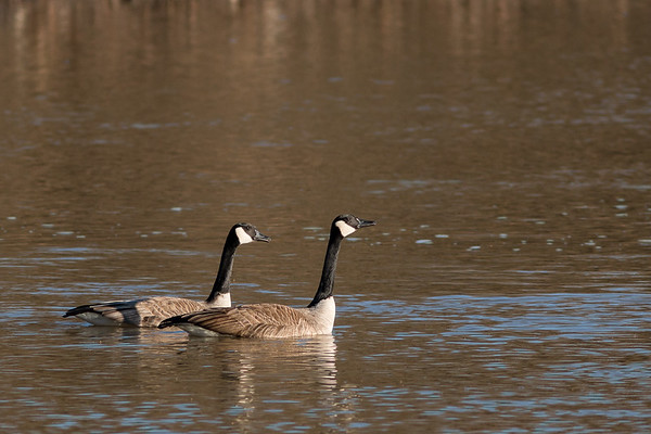 Canada Geese enjoying the sunshine and warmer temps at Killbuck Wetlands on Monday.<br /> <br /> Photographer's Name: Ruby Northcutt<br /> Photographer's City and State: Anderson, Ind.