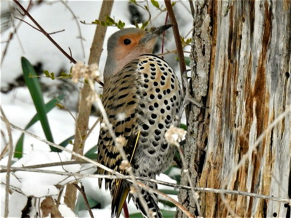 A flicker hunting for a meal during our spring snow day.<br /> <br /> Photographer's Name: Sharon Markle<br /> Photographer's City and State: Pendleton, Ind.