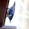 A nuthatch at Mounds Park eyeing a seed.<br /> <br /> Photographer's Name: Jerry Byard<br /> Photographer's City and State: Anderson, Ind.