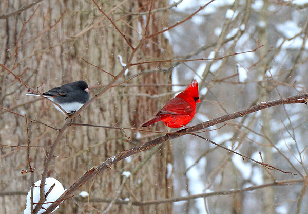 A juno and cardinal at the Mounds Park bird feeding area.<br /> <br /> Photographer's Name: Jerry Byard<br /> Photographer's City and State: Anderson, Ind.