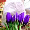 It's spring on 650W.<br /> <br /> Photographer's Name: Harry Kirchenbauer<br /> Photographer's City and State: Anderson, Ind.