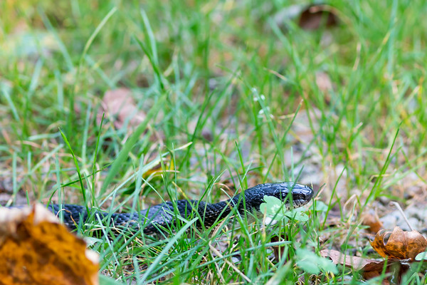 Saw this little black snake while walking a trail at Rangeline Nature Preserve this past summer.<br /> <br /> Photographer's Name: Ruby Northcutt<br /> Photographer's City and State: Anderson, Ind.