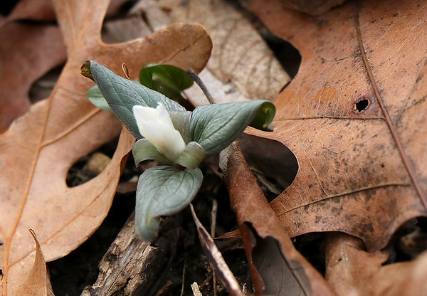 On the first day of spring the snow trillium is emerging at Mounds Park.<br /> <br /> Photographer's Name: Jerry Byard<br /> Photographer's City and State: Anderson, Ind.