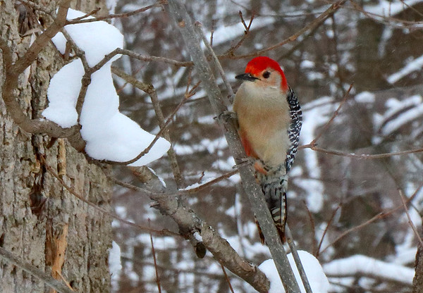A red-bellied woodpecker at the Mounds Park bird feeding area.<br /> <br /> Photographer's Name: Jerry Byard<br /> Photographer's City and State: Anderson, Ind.
