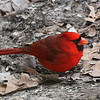 A cardinal feeding on the ground at Brown County State Park.<br /> <br /> Photographer's Name: Jerry Byard<br /> Photographer's City and State: Anderson, Ind.