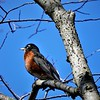 A resting robin at Mounds State Park.<br /> <br /> Photographer's Name: J.R. Rosencrans<br /> Photographer's City and State: Alexandria, Ind.