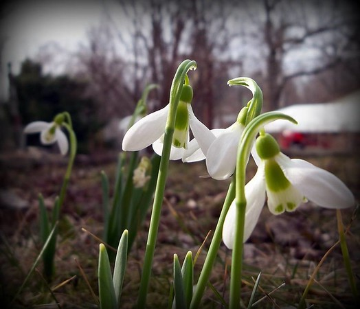 Tiny, beautiful snowdrops blooming.<br /> <br /> Photographer's Name: Debra Howell<br /> Photographer's City and State: Pendleton, Ind.