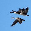 Geese in flight over a wetlands area.<br /> <br /> Photographer's Name: Jerry Byard<br /> Photographer's City and State: Anderson, Ind.