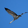 A single sand hill crane in flight.<br /> <br /> Photographer's Name: Jerry Byard<br /> Photographer's City and State: Anderson, Ind.