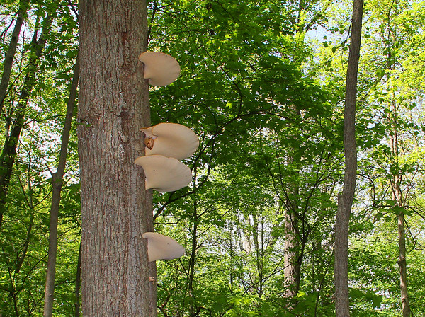 An interesting tree at Mounds Park has some fungus decorations.<br /> <br /> Photographer's Name: Jerry Byard<br /> Photographer's City and State: Anderson, Ind.