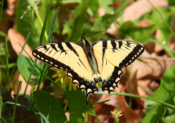 While hiking at Mounds Park a yellow swallowtail butterfly was flitting among the dandelions.<br /> <br /> Photographer's Name: Jerry Byard<br /> Photographer's City and State: Anderson, Ind.