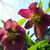 Hellebore blooms.<br /> <br /> Photographer's Name: Debra Howell<br /> Photographer's City and State: Pendleton, Ind.