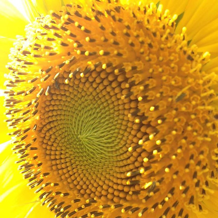 Sunflowers.<br /> <br /> Photographer's Name: Janet Hoffman<br /> Photographer's City and State: Frankton, Ind.