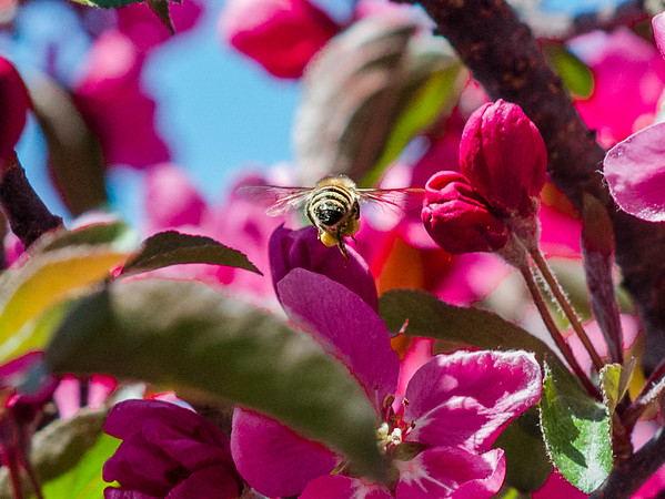 Bee on my flowering tree.<br /> <br /> Photographer's Name: Terry Lynn Ayers<br /> Photographer's City and State: Anderson, Ind.