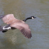 An above view of a goose preparing to land in White River at Mounds Park.<br /> <br /> Photographer's Name: Jerry Byard<br /> Photographer's City and State: Anderson, Ind.
